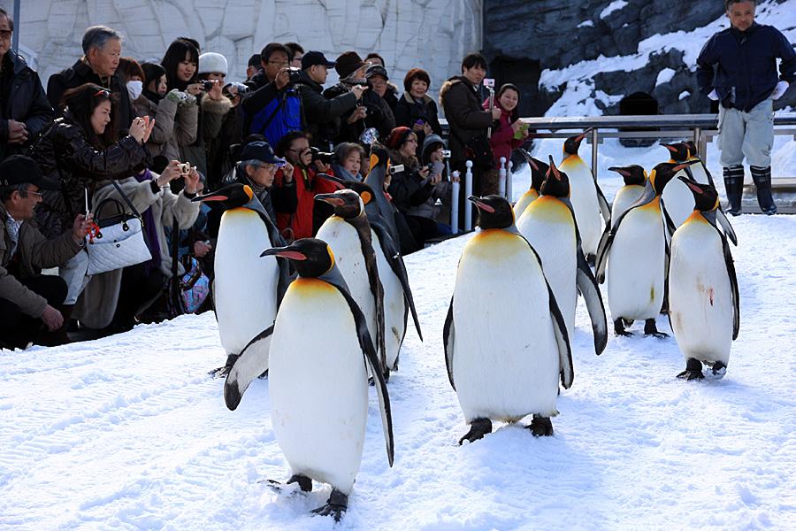 Asahiyama Zoo Pop Japan