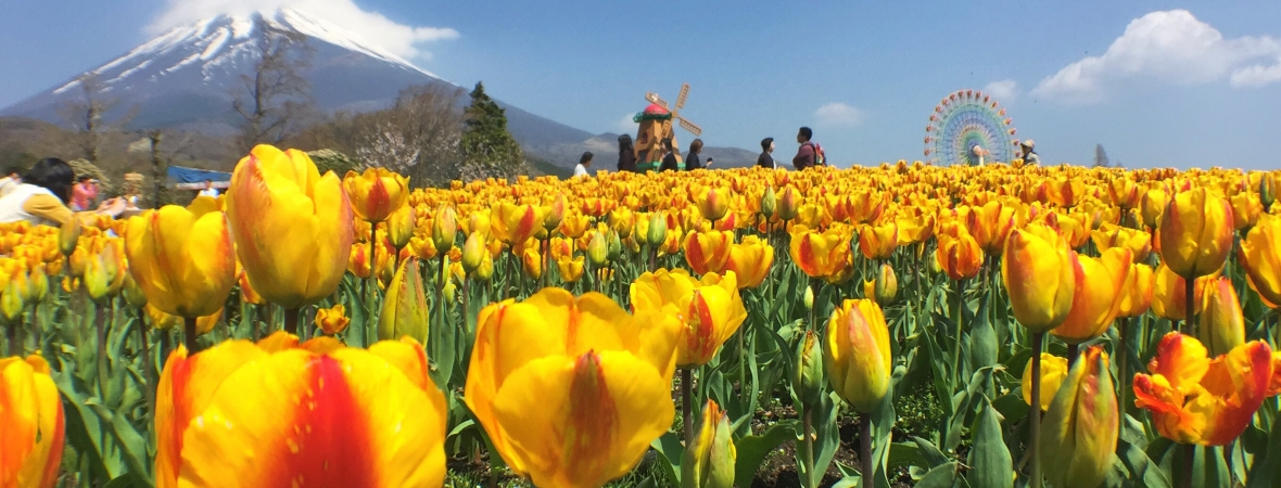Heavenly Tulip Festival